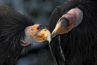 California Condors (Gymnnogyps Californicus) Interacting. Captive. Endangered Species
