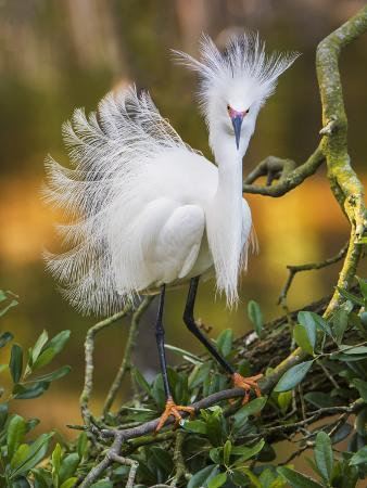 Snowy Egret (Egretta Thula) With Plumes Erect, St. Augustine, Florida, USA, April