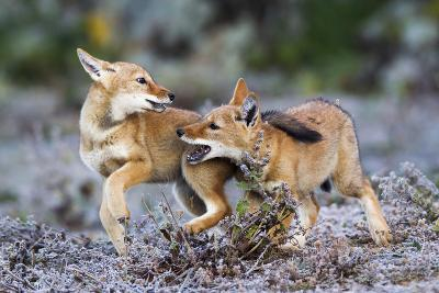 Ethiopian Wolf (Canis Simensis) Pups Playing, Bale Mountains National Park, Ethiopia