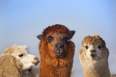 Alpaca Herd On Norfolk Farm, Winter