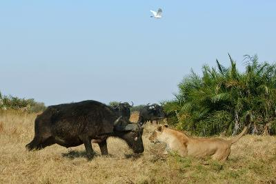 Cape Buffalo (Syncerus Caffer Caffer) Charging African Lioness (Panthera Leo) Okavango Delta