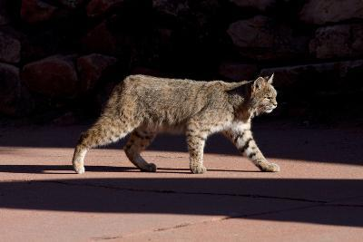 American Bobcat (Lynx Rufus) Walking On A Pavement In Denver, Colorado, USA, December