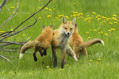 American Red Fox (Vulpes Vulpes Fulva) Baby Leaping On Its Disinterested Mother