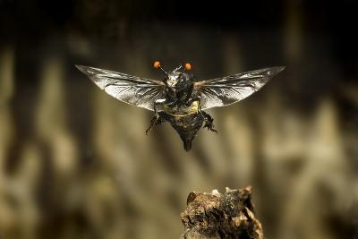 Carrion Beetle (Nicrophorus Carolinensis) In Flight With Parasitic Mites Living On Exoskeleton