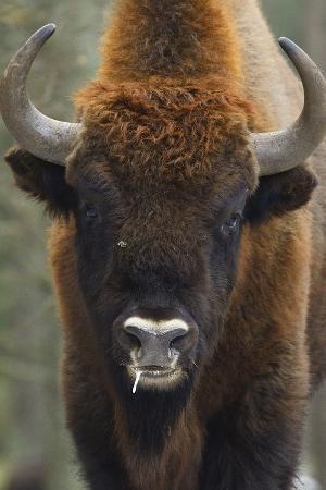 European Bison (Bison Bonasus), Drawsko Military Area, Western Pomerania, Poland, February