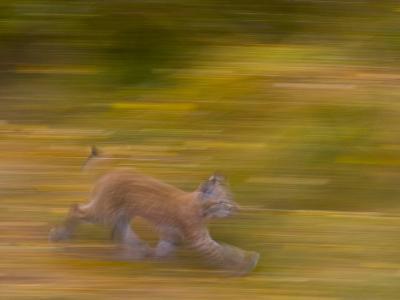 Eurasian Lynx (Lynx Lynx), Finland