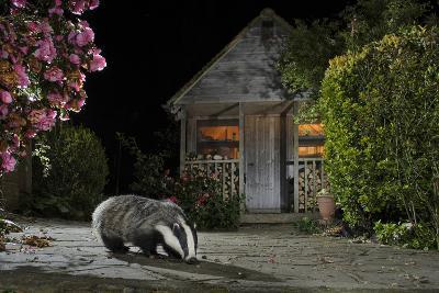 European Badger (Meles Meles) Feeding On Food Left Out In Urban Garden, Kent, UK, May