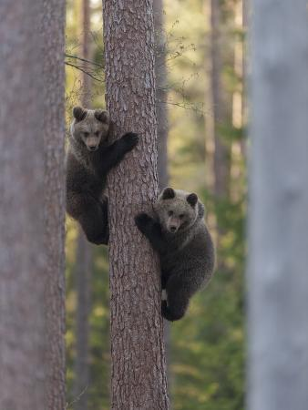 European Brown Bear (Ursus Arctos Arctos) Two Cubs Climbing Tree, Northern Finland, May