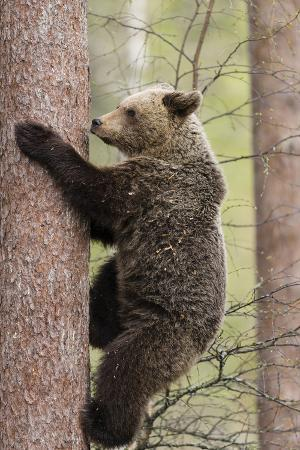 European Brown Bear (Ursus Arctos Arctos) Adult Climbing, Northern Finland, May