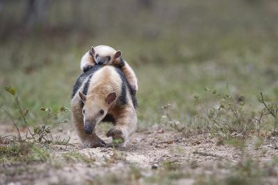 Southern Tamandua (Tamandua Tetradactyla) Female Carrying Young On Her Back