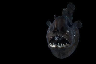 Angler Fish (Melanocetus Murrayi) Mid-Atlantic Ridge, North Atlantic Ocean