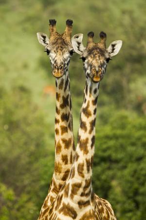 Masai Giraffe (Giraffa Camelopardalis Tippelskirchi) Masai Mara Game Reserve, Kenya