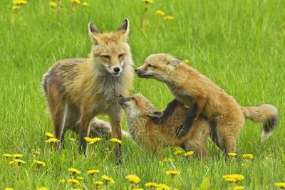 American Red Fox (Vulpes Vulpes Fulva) Mother And Two Cubs Playing