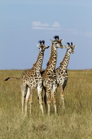 Masai Giraffe (Giraffa Camelopardalis Tippelskirchi) Juveniles, Masai Mara Game Reserve, Kenya