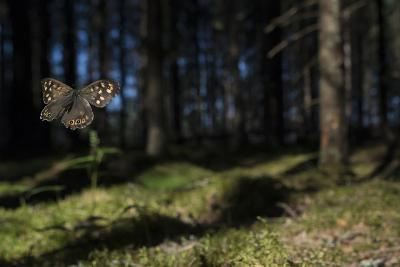 Speckled Wood (Pararge Aegeria) Male Flying In Habitat, Finland, April