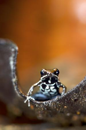 Marbled Poison Dart Frog (Epipedobates Boulengeri) On Leaf, Ecuador