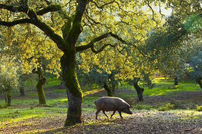Iberian Black Pig Foraging In Oak Woodland, Sierra De Aracena Natural Park, Huelva
