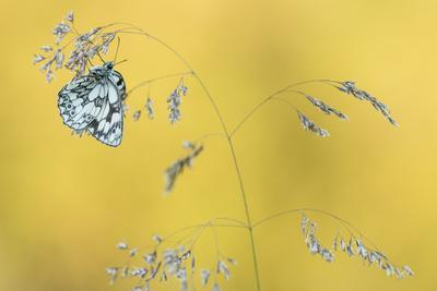 Marbled White Butterfly (Melanargia Galathea) Resting On Grass, Dunsdon Nature Reserve, Devon