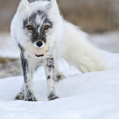 Arctic Fox (Vulpes Lagopus) With Snow Goose Egg In Mouth