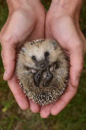 European Hedgehog (Erinaceus Europaeus) Hand Reared Orphan Held In Human Hands, Jarfalla, Sweden