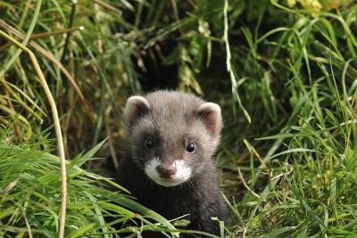 European Polecat Kitten (Mustela Putorius) In Grass