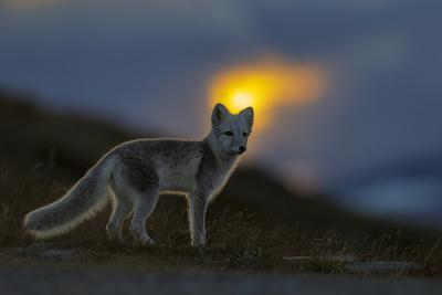 Arctic Fox (Alopex - Vulpes Lagopus) At Sunset, During Moult From Grey Summer Fur To Winter White