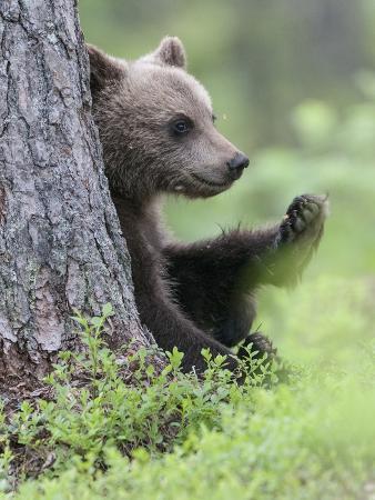European Brown Bear (Ursus Arctos Arctos) Young Cub, Northern Finland, July