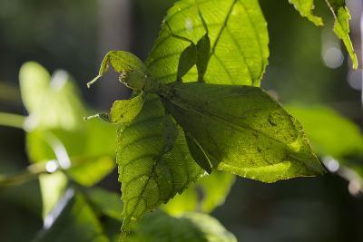 Celebes Leaf Insect (Phyllium Celebicum) Philippines