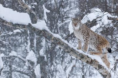 European Lynx (Lynx Lynx) Climbing A Tree, Captive, Norway, February