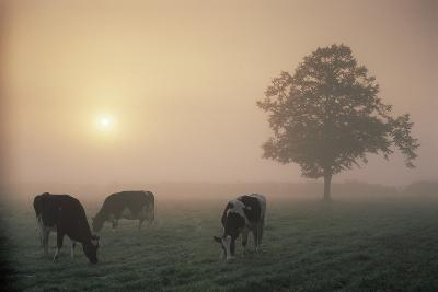 Cattle Grazing At Dawn On A Misty Morning, Dorset, England
