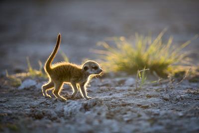 Meerkat (Suricata Suricatta) Baby Walking, Makgadikgadi Pans, Botswana