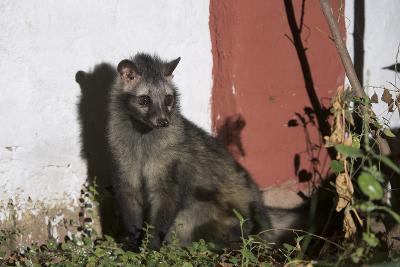Asian Palm Civet (Paradoxurus Hermaphroditus) Chambal Safari Lodge