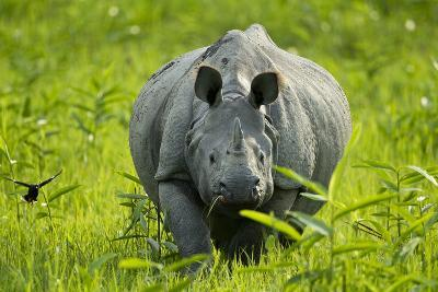 Indian - Asian One-Horned Rhinoceros (Rhinoceros Unicornis) Approaching