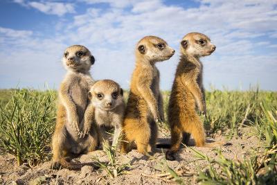 Meerkat (Suricata Suricatta) Group Of Babies, Makgadikgadi Pans, Botswana