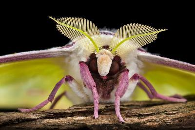 Indian Moon - Indian Luna Moth (Actias Selene) Head-On View Showing Feather-Like Antennae