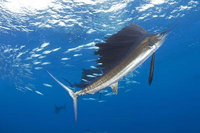 Indo Pacific Sailfish (Istiophorus Platypterus) Feeding On Sardines, Isla Mujeres, Mexico