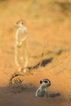 Meerkat (Suricata Suricatta) Emerging From Burrow, Kgalagadi Transfrontier Park, Northern Cape