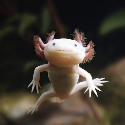 Axolotl (Siredon - Ambystoma Mexicanum) Albino, Captive