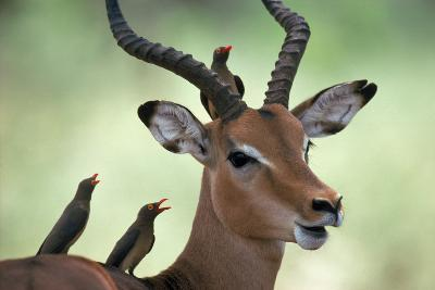 Impala With Oxpeckers. Kruger National Park, South Africa