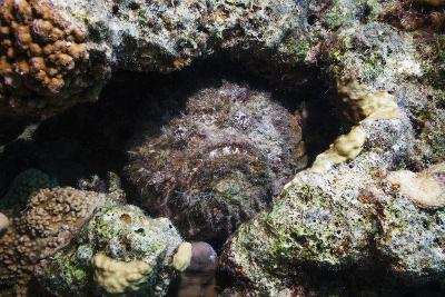 Stonefish (Synanceia Verrucosa) Well Camouflaged Overgrown With Algae