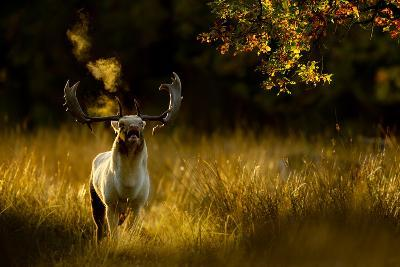 Fallow Deer (Dama Dama) Buck Bellowing At Dawn During The Rut, Cheshire, UK, October