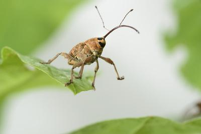Female Acorn Weevil (Curculio Glandium) Niedersachsische Elbtalaue Biosphere Reserve