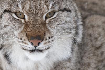 Face Portrait Of A European Lynx (Lynx Lynx), Captive, Norway, February