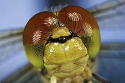 Close Up Of Eyes Of Common Darter Dragonfly (Sympetrum Striolatum) Newly Emerged Adult, Surrey, UK