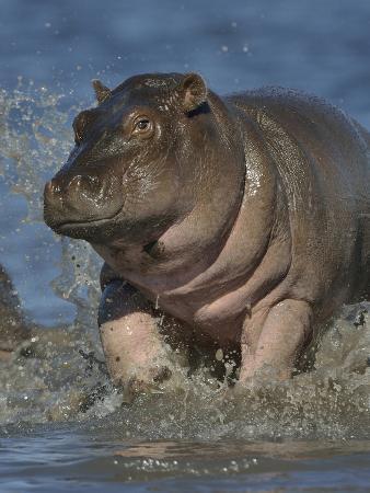 Baby Hippopotamus (Hippopotamus Amphibius) Playing In Water, Chobe River, Botswana