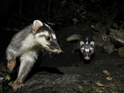 Chinese Ferret Badger (Melogale Moschata) Two Captured By Camera Trap At Night