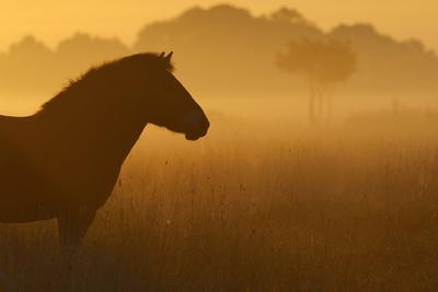 Exmoor Pony At Sunrise