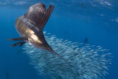 Indo Pacific Sailfish (Istiophorus Platypterus) Feeding On Sardines, Isla Mujeres, Mexico