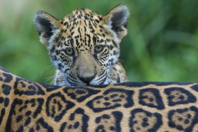 Jaguar (Panthera Onca) Cub Looking Over Its Mother'S Back