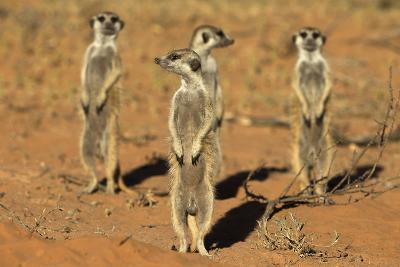 Meerkats (Suricata Suricatta) Standing Alert, Kgalagadi Transfrontier Park, Northern Cape